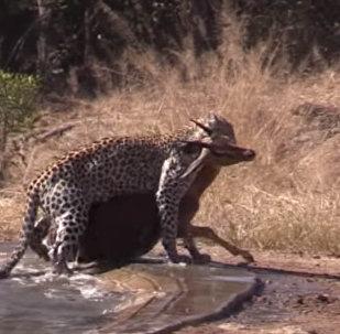 Гиена помогла антилопе вырваться из пасти леопарда — видео из ЮАР