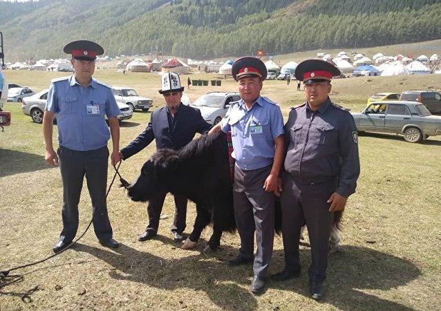 Сотрудники милиции нашли трех яков, участвовавших в театрализованном представлении пропавших в ущелье Кырчын
