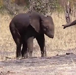 Слоненок без хобота попал на видео