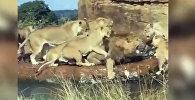 Группа львиц едва не растерзала царя зверей. Видео