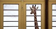 Жираф смотрит в окно. Архивное фото