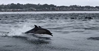 Суунун бетин бербейт го! Аңчылыкка чыккан дельфиндердин видеосу