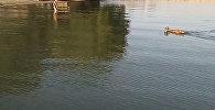 Железная овца плывет по Иссык-Кулю. Видео