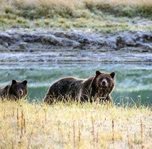 Медведь-гризли и ее детеныш. Архивное фото