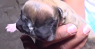 Щенок-мутант с двумя мордами родился в Перу — хозяин снял его на видео