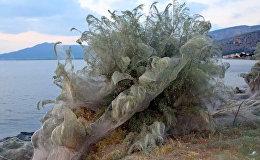 Ичиркенесиң! Грециядагы пляждын жээгин жөргөмүштөр желе менен чырмап салды