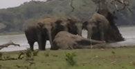 Сотни слонов попрощались с вожаком, погибшим в бою, — видео