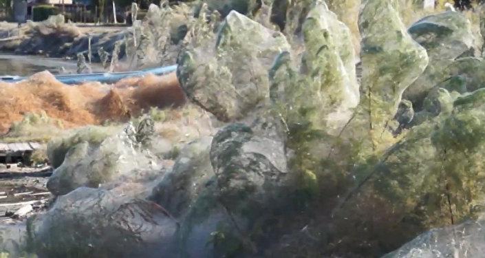 Словно фильм ужасов — побережье острова в гигантской паутине. Видео