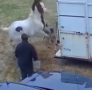 Питбуль внезапно напал на лошадь, но жестоко поплатился — видео