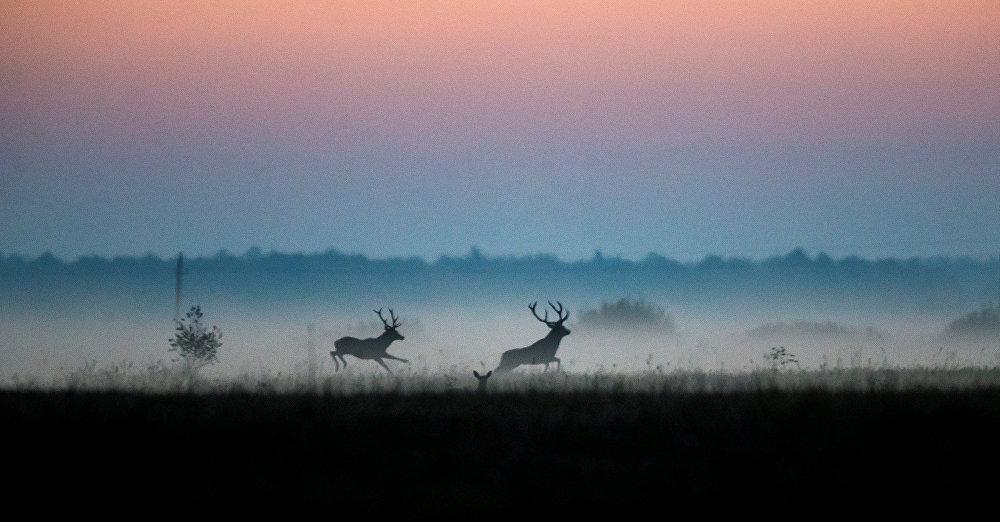 Белоруссиянын Налибокский ландшафтык коругундагы бугулар