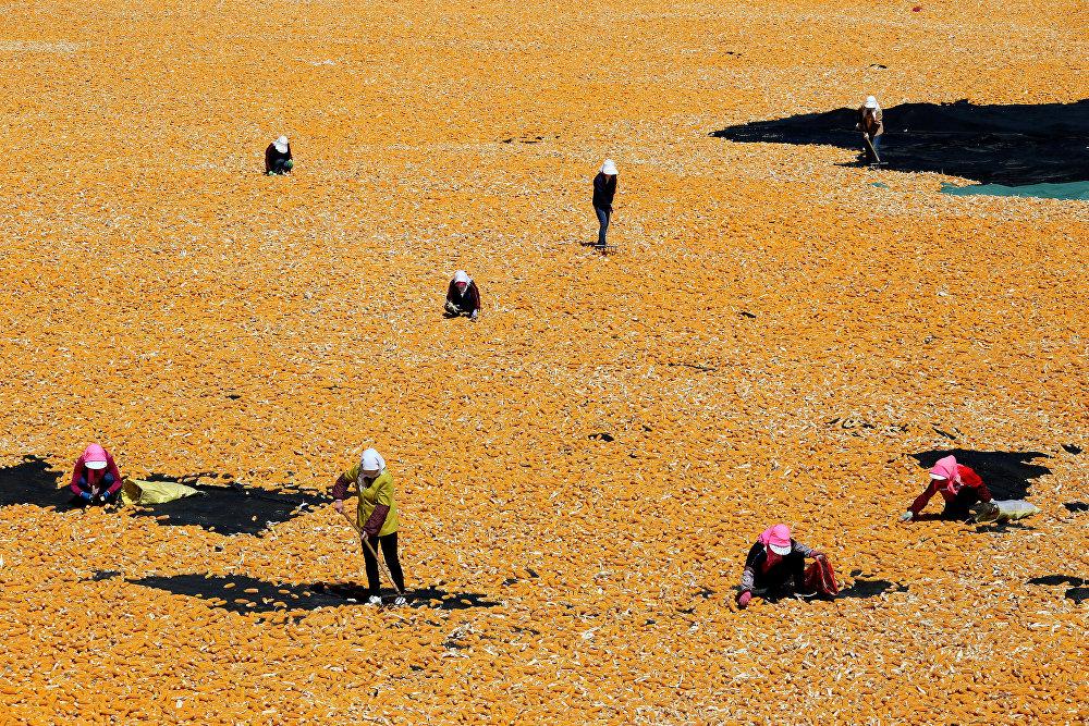 Кытайдын Ганьсу облусунда жүгөрү кургатуу учуру