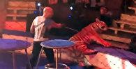 Тигр стал биться в конвульсиях на арене и напугал зрителей — жуткое видео