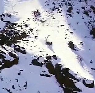 Барс упал со 120-метровой высоты, вцепившись в барана, и остался жив. Видео