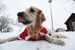 Собака лабрадор. Архивное фото