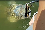 Огромный сом подавился черепахой, его спасли рыбаки. Видео