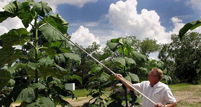 Фермер вырезает молодые деревья павловнии на своей ферме. Архивное фото