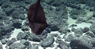 Большерот — ученые сняли на видео странного обитателя океана
