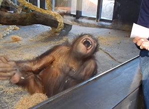 Что будет, если обезьяне показать фокус — это видео посмотрели 31 млн раз
