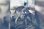 Тренировка коня перед игрой кок-бору? В соцсетях бурно обсуждают это видео