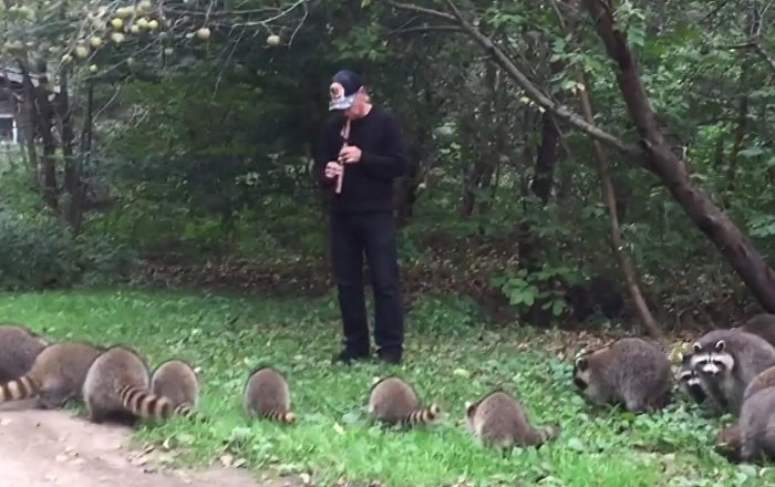 Мужчина выманил 20 енотов из леса, играя на флейте, — удивительное видео