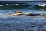 Акула выбросилась на берег ради туши кита. Видео
