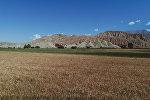 Пшеничные поля. Архивное фото