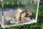 В Китае показали двухголовую черепаху-мутанта — удивительное видео