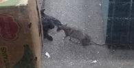 Крыса прогнала кошку из-под прилавка. Видео