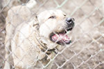 Собака породы алабай. Архивное фото