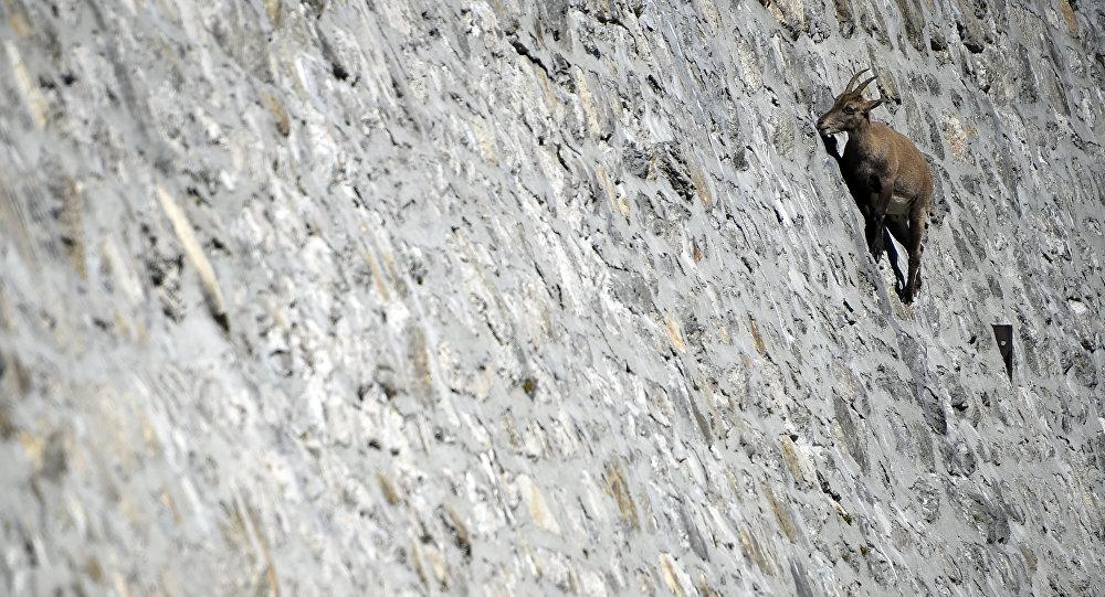 Альпийский козел, который живет в горах Альп, облизывает камни на вертикальной плотине (до 80 °) у озера Чингино. Архивное фото