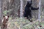 Охотник увлекся съемкой медведя и не заметил, как тот пошел в атаку Видео