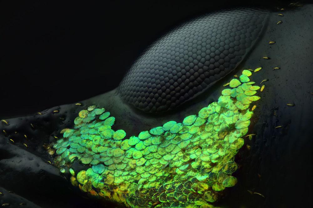 Глаз жука Metapocyrtus (20-кратное увеличение). Снимок Юзефа Аль Хабши удостоен первого места.