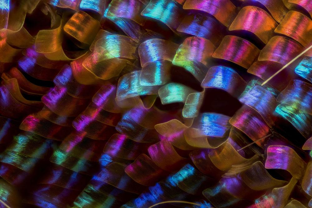 Крылья урании мадагаскарской (20-кратное увеличение). Автор фото — Лучиано Андрес Ричино (12-е место).