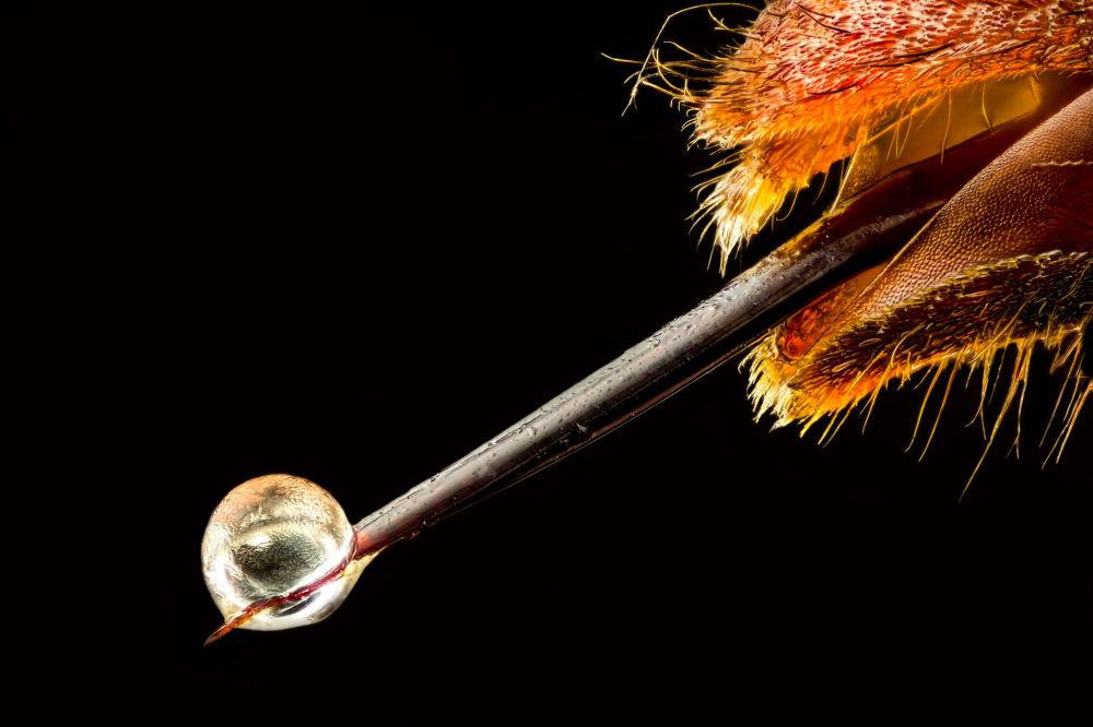 Азиатский шершень с ядом на жале (шестикратное увеличение). Снимок сделал Пьер Анквет (16-е место).