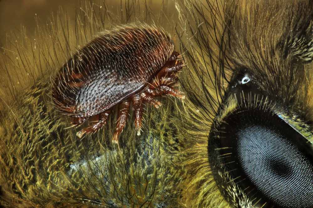 Клещ варроа на спине медоносной пчелы. Работа Антуана Франка заняла 15-е место.