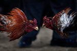 Бои петухов. Архивное фото