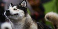 Собаки породы Хаски. Архивное фото