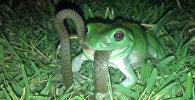 Лягушонок поедает змею — необычное видео