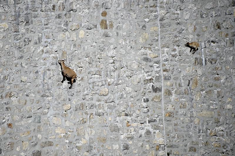 Альпийский козел, который живет в горах Альп, облизывает камни на вертикальной плотине (до 80 °) у озера Чингино, на высоте 2200 м.. 22 сентября 2014 года, недалеко от Антроны Пьяны
