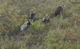 Бездомная собака подружилась с семьей медведей — редкое видео с Камчатки