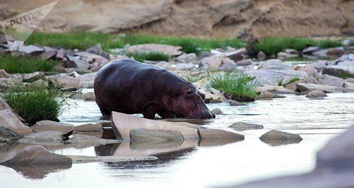 Бегемот пьет воду на речке. Архивное фото