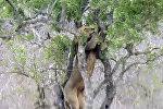 Ну и наглость! Лев взобрался на дерево за леопардом, чтобы отобрать добычу. Видео