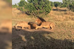 Два льва сошлись в ожесточенной схватке, не поделив самку, — видео из Кении