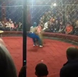 Львица схватила девочку во время представления в цирке Краснодара. Видео
