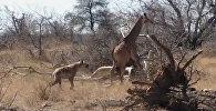 Как жираф спас от гиен детеныша, волочившего сломанную ногу. Видео