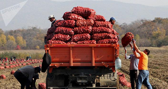 Фермеры собирают урожай картофеля. Архивное фото