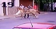 Питбули внезапно напали на лошадь, но получили жесткий отпор. Видео