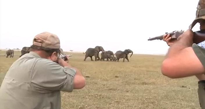 Охотники едва не стали жертвами слонов, застрелив одного из них. Видео