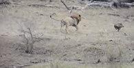 Жадность довела — лев оставил самок без еды, вмешавшись в их охоту. Видео