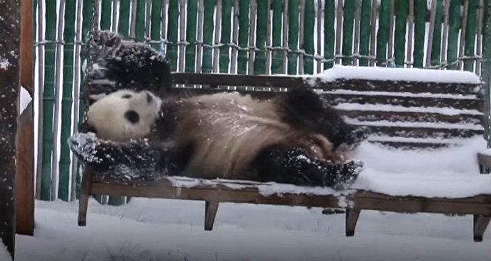Баладай сүйүнүптүр! Тоголонуп, топ ойногон панданын видеосу